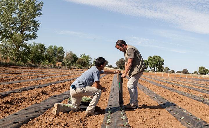 Teknologia- ja testikeskuksen alueella käynnistyvästä guayule-projektista työtä viljelijöille ja korvaaja luonnonkumille